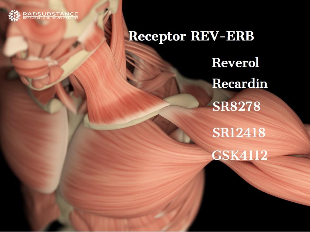 Реверол, Рекардин и другие лиганды рецептора REV-ERB. При дистрофии и для регенерации мышц